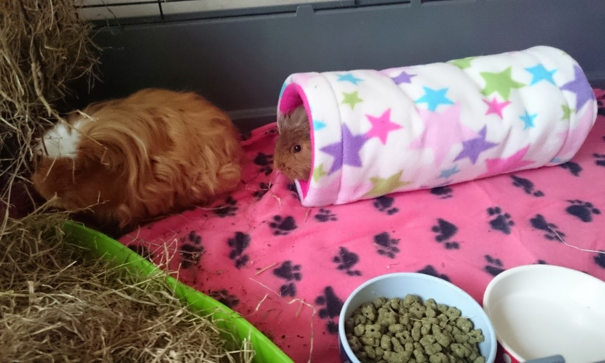 guinea pigs in tunnel