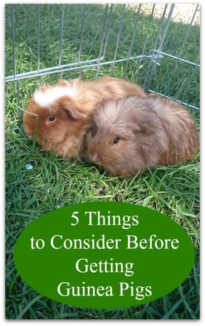 5-things-to-consider-before-getting-guinea-pigs