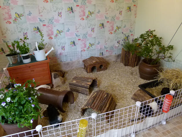 amazing guinea pig homes the reading residence