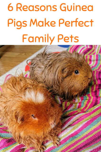 6 Reasons Guinea Pigs Make Perfect Family Pets